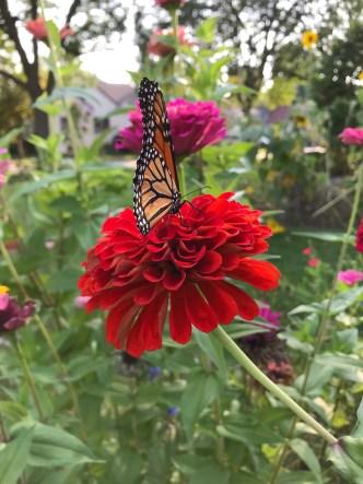 Monarch butterfly on a zinnea flower- City Foodie Farm