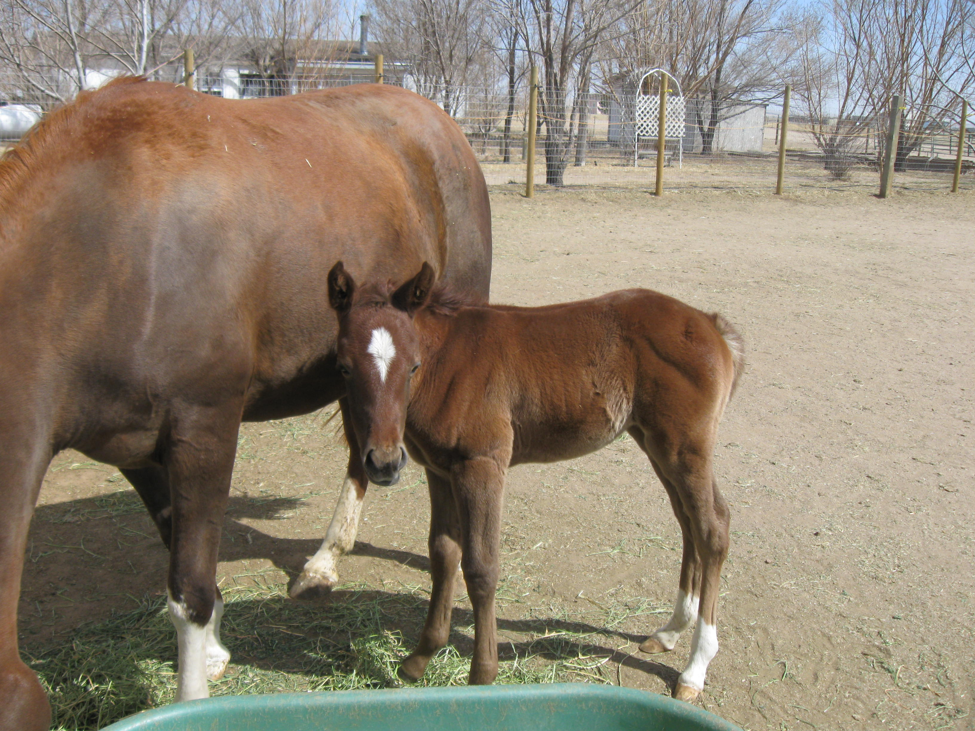 Two-week old Arab filly