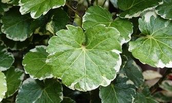 Árnyékarália (Polyscias balfouriana)