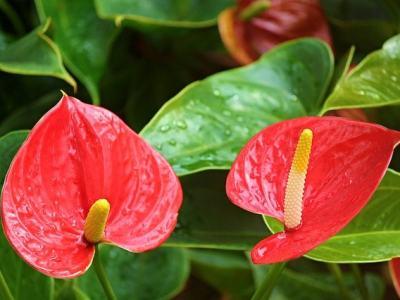 Flamingóvirág (Anthurium)