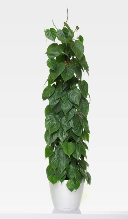 Kúszó filodendron (Philodendron scandens)