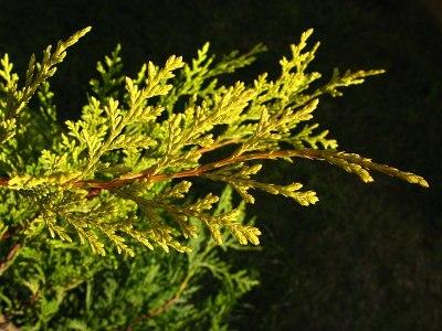 Leylandi ciprus
