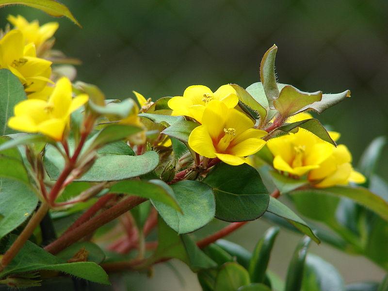 Lysimachia procumbens