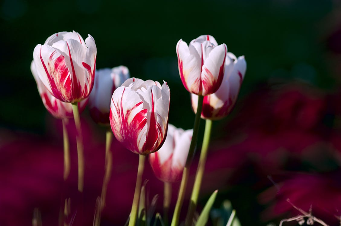 Rembrandt tulipán