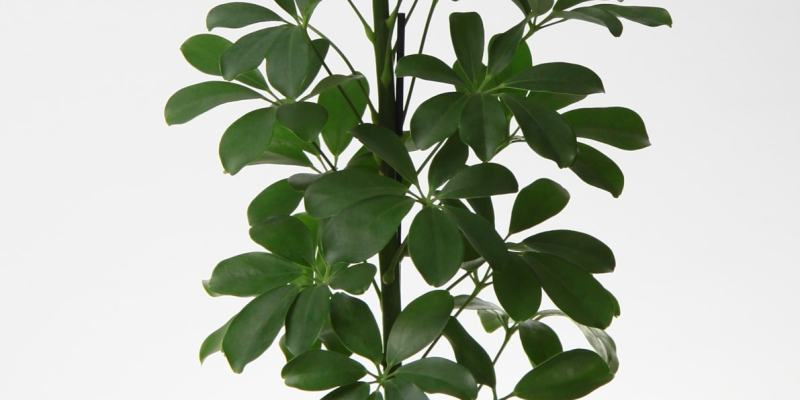 Sugárarália (Schefflera arboricola)