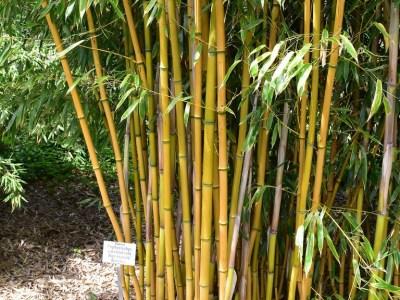 aranyszárú bambusz