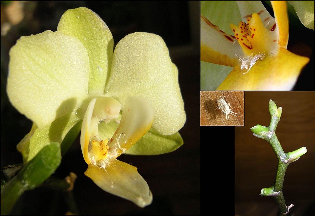 orchidea kártevők