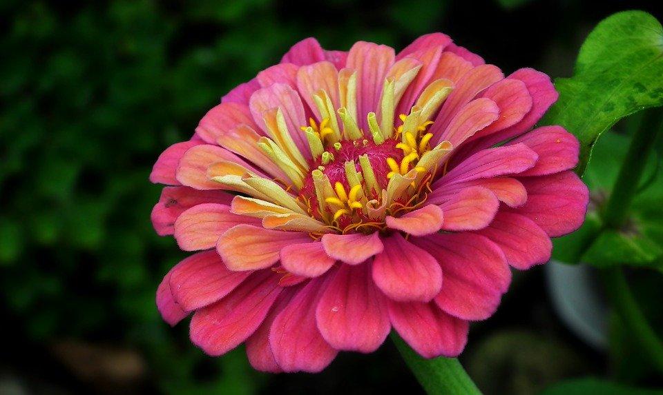 rézvirág
