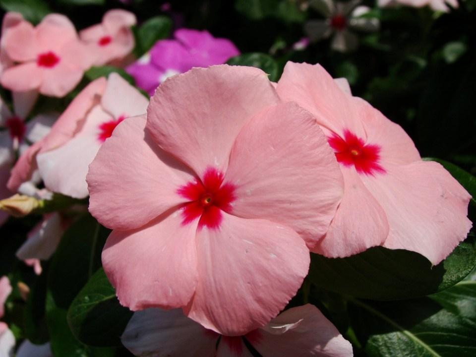rózsameténg