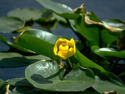 sárga vízitök