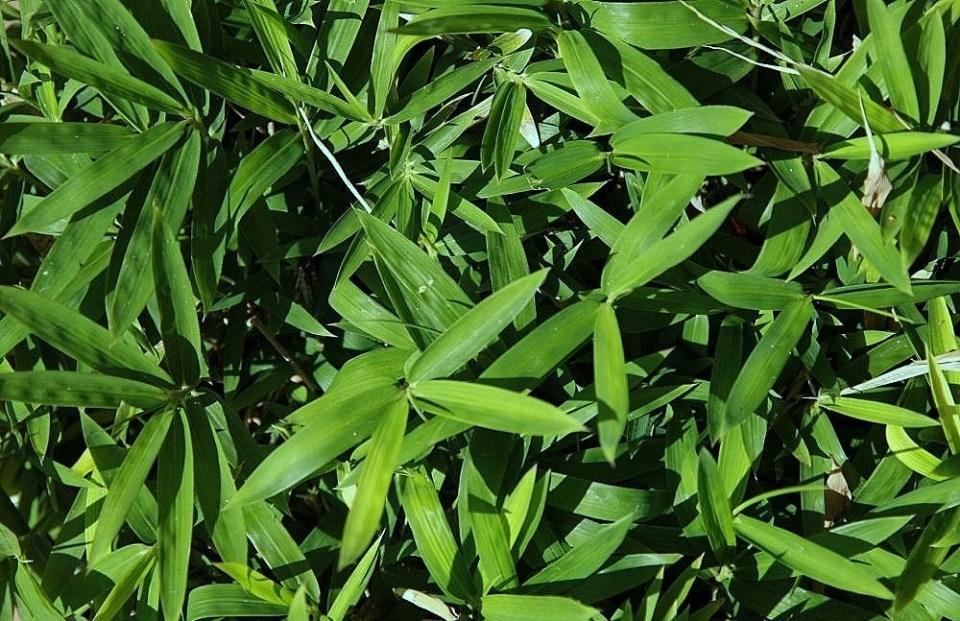 törpe bambusz