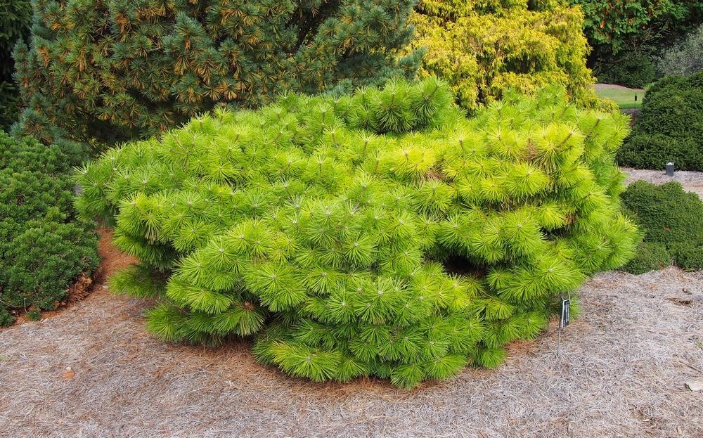 törpe japán erdeifenyő