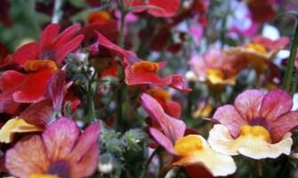 tarka vörösbegyvirág