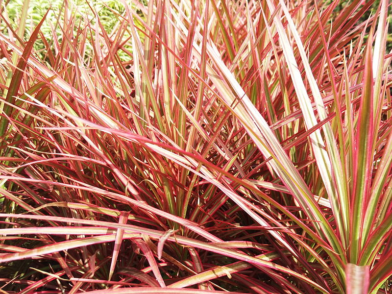 Dracaena marginata 'Tricolor'