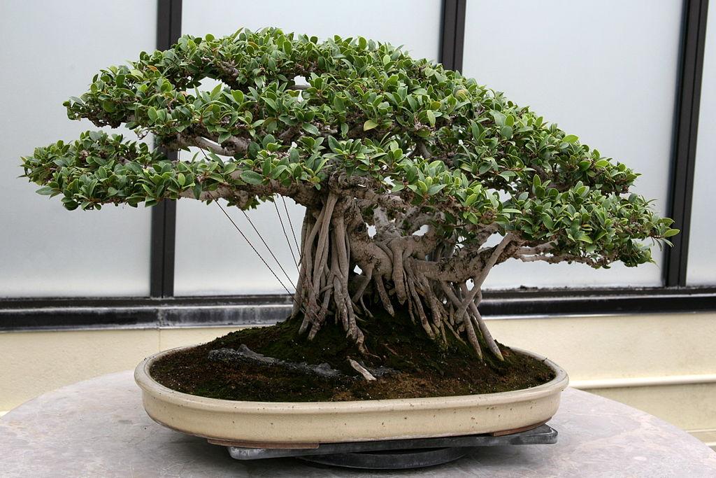 Ficus_microcarpa