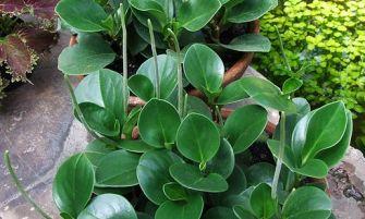 Tompalevelű törpebors (Peperomia obtusifolia)