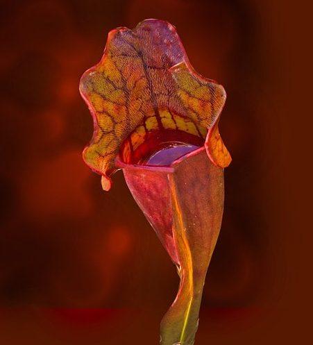 Kürtvirág (Sarracenia purpurea)