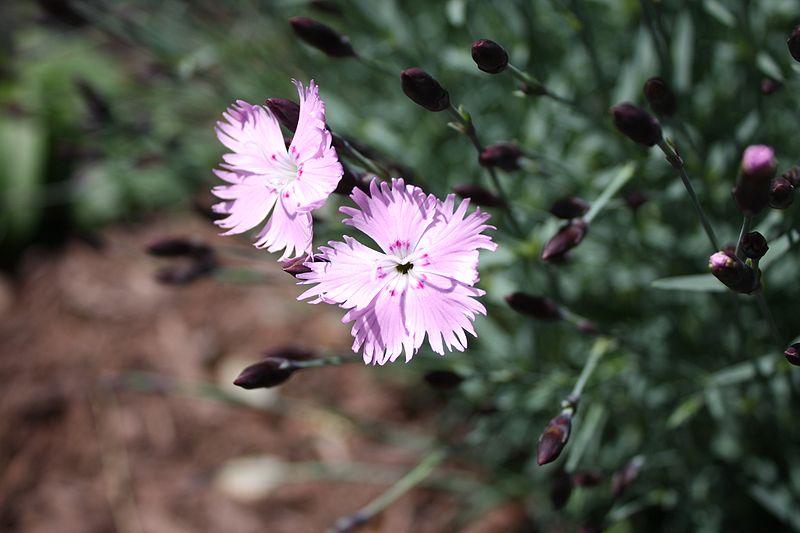 Dianthus gratianopolitanus 'Bath's Pink'