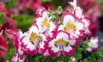 Schizanthus x wisetonensis