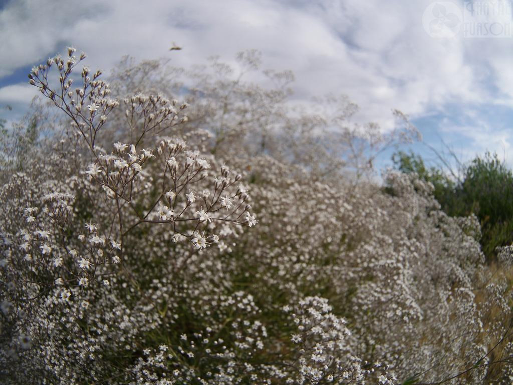 buglyos fátyolvirág