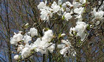 japán liliomfa