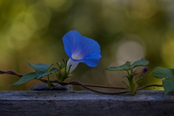 kék hajnalka