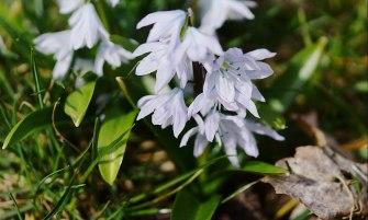 perzsa csillagvirág