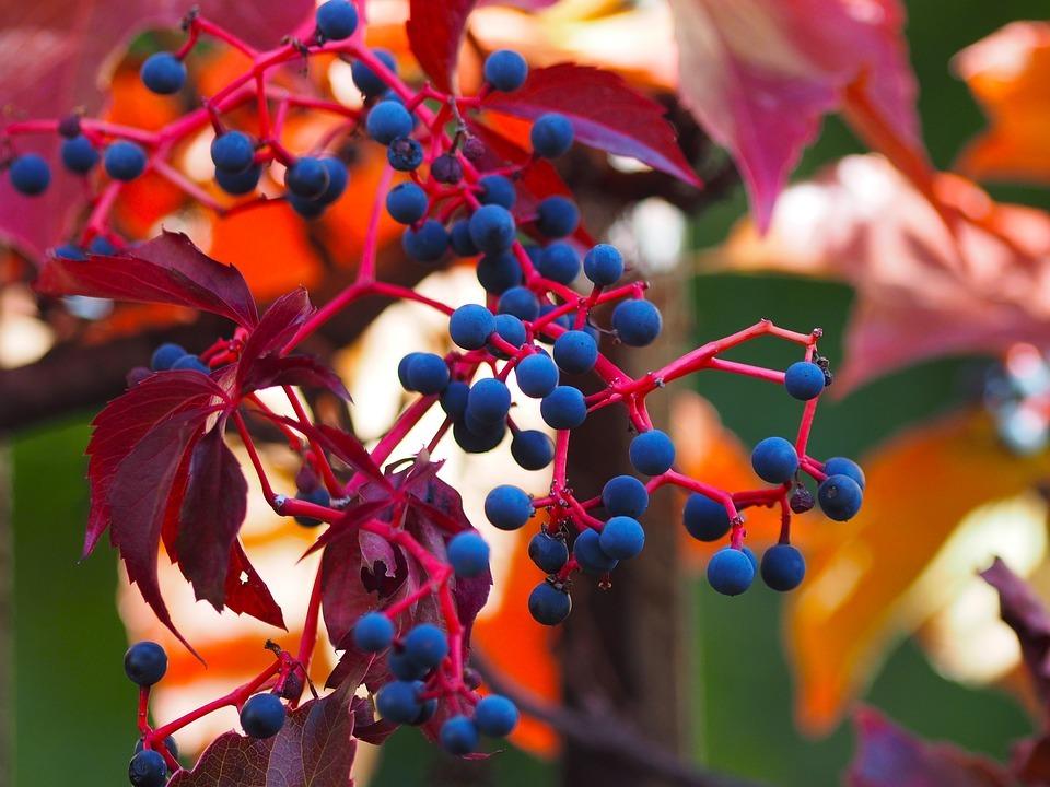 tapadó vadszőlő