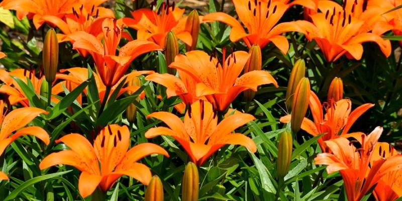 ázsiai liliom
