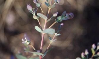havasi eukaliptusz