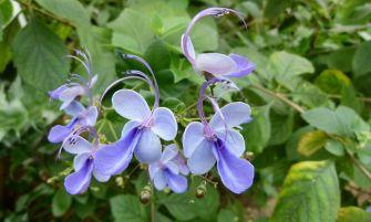 kékpillangóvirág