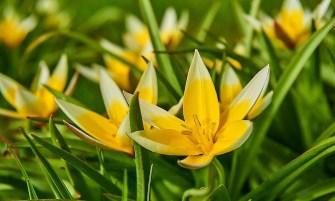 kétszínű tulipán