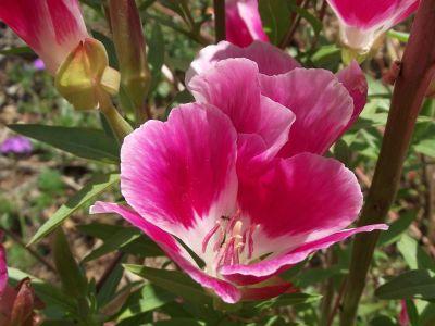 nagyvirágú tündérkürt
