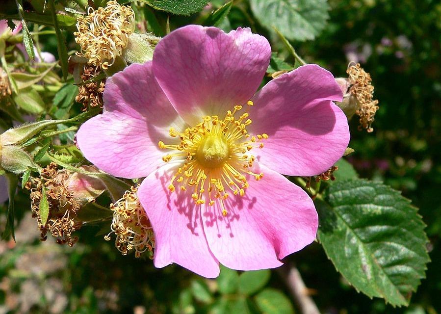 rozsdaszínű rózsa