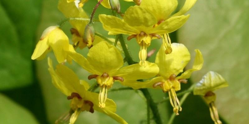 sárga tündérvirág