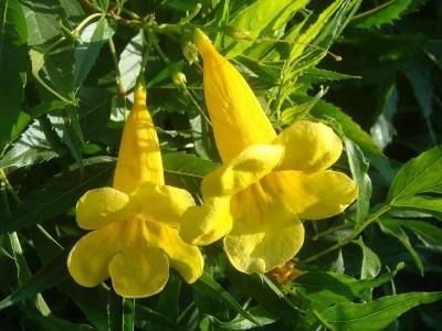 sárga trombitacserje