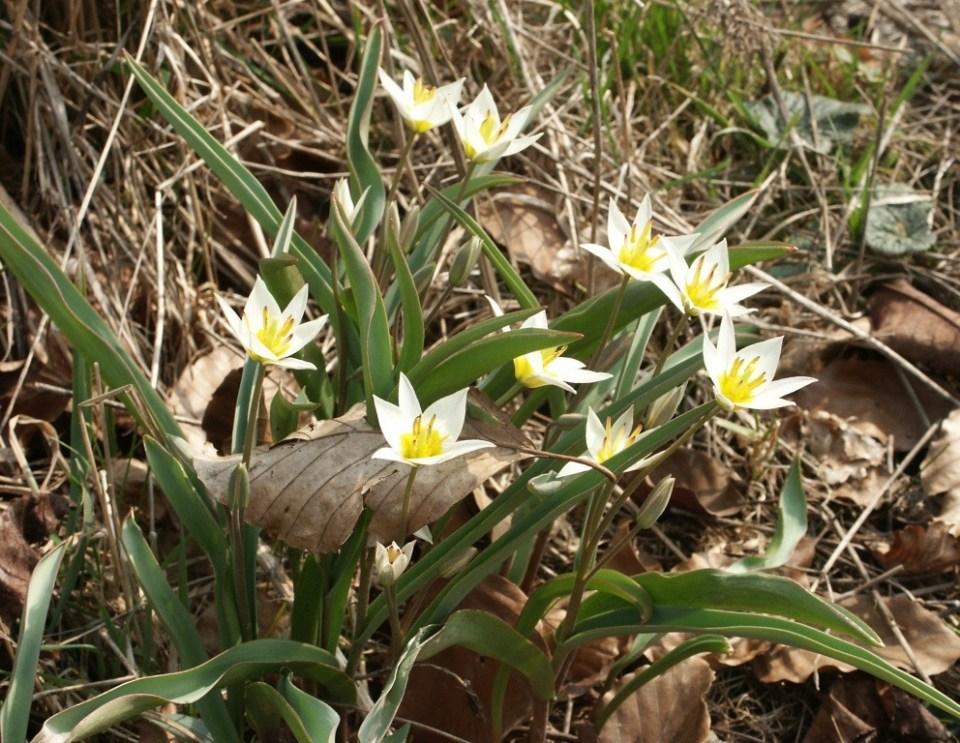 turkesztáni tulipán