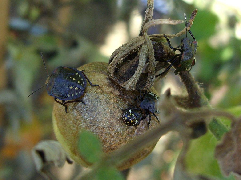 Friss hírek: Paradicsom kártevői A paradicsom könnyen nevelhető növény, érdemes termesztésével próbálkozni erkélyen, teraszon is. Számos kártevő gyengíti, ellenük a védekezést megjelenésük elején kell elvégezni. Házi kertben nem lebecsülendő védekezési módszer a kártevők összegyűjtése, gyérítése. A liszteske és levéltetű telepeket a fertőzött levelekkel együtt folyamatosan távolítsuk el, semmisítsük meg. A betelepülő poloskák folyamatos összegyűjtése is hasznos, javasolt […] The post A paradicsom betegségei és kártevői – 2. rész appeared first on CityGreen.hu.
