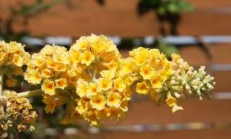 Buddleia x weyeriana 'Sungold'
