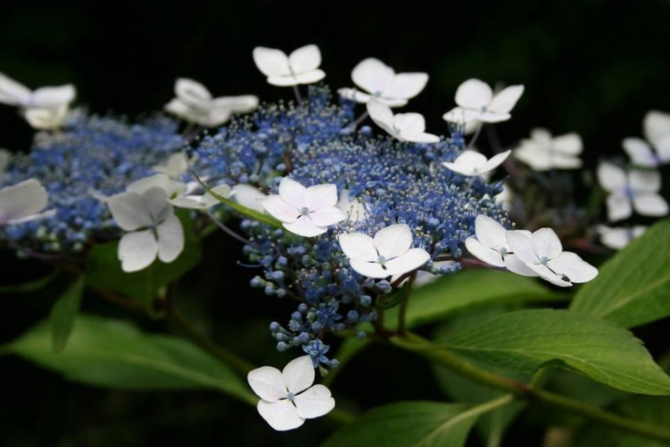 Hydrangea serrata