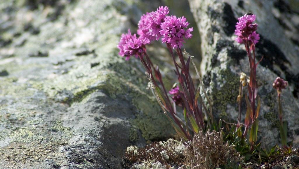 Lychnis alpina