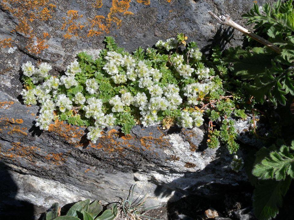 Paronychia kapela serpyllifolia