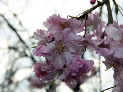 Prunus subhirtella 'Pendula Plena Rosea'