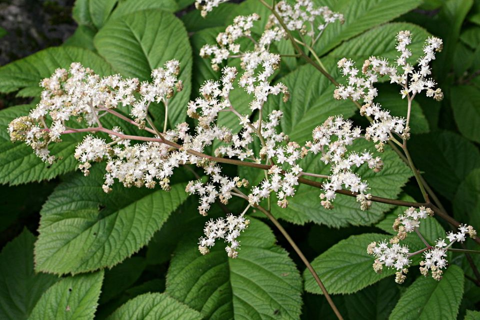 Rodgersia aesculifolia