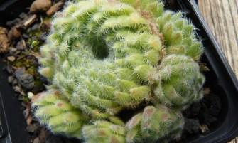 Sempervivum ciliosum var. 'Borisii'