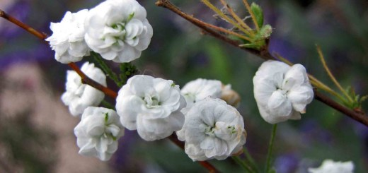 Spiraea prunifolia 'Pleniflora'