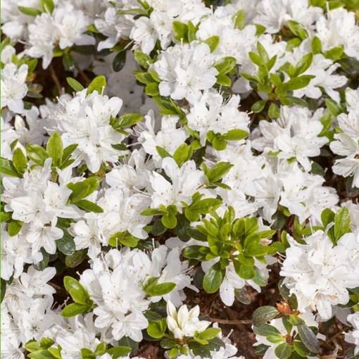 hisako azalea