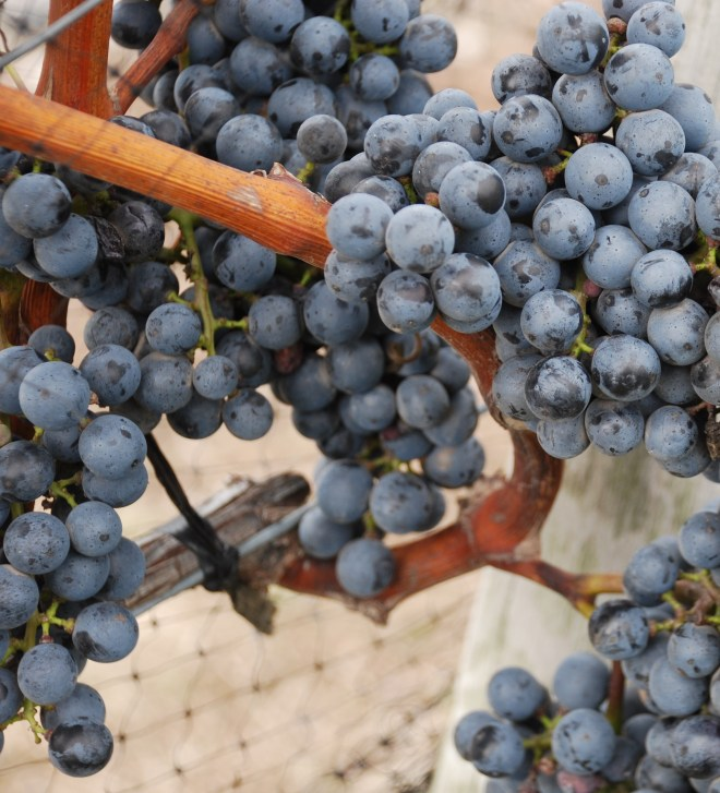 Grapes at Kontokosta Winery in the North Fork region of Long Island.