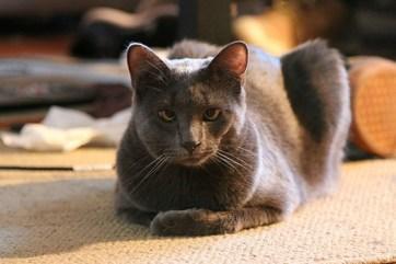 Mački z alergijsko reakcijo na pik