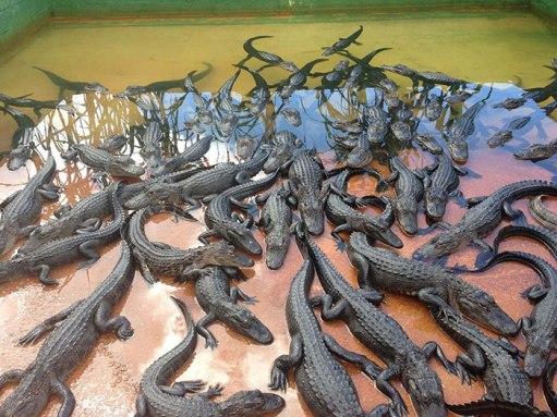 Resnična cena za torbico iz krokodiljega usnja so štirje krokodili!
